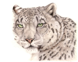 schneeleopard2_kl