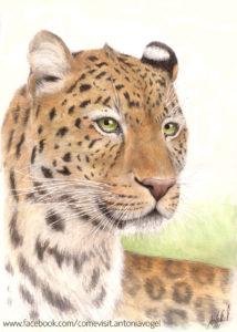 Leopard Simon_kl